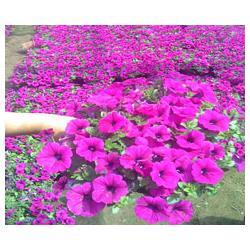 草花-树春草花-阿里草花图片