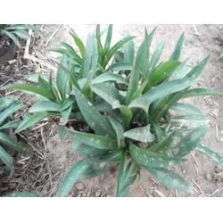 树春荷兰菊 高山荷兰菊-银川荷兰菊图片