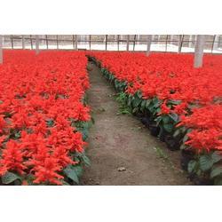 新河一串红、一串红订购、一串红树春(优质商家)图片