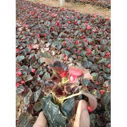 树春四季海棠(图)-四季海棠-涿鹿四季海棠图片