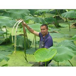 汉川藕御莲藕种植场|太空莲原种|东山县太空莲原种图片