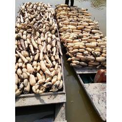 大荔县深水藕种|汉川藕御莲藕种植场|深水藕种求购图片