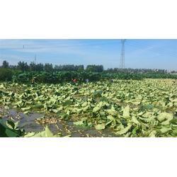 汉川藕御莲藕种植场、湖北藕种采购、湖北藕种图片