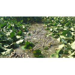 鄂莲6号、汉川藕御莲藕种植场、鄂莲6号供应图片