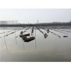 藕种、早熟莲藕种、武汉藕御农业发展有限公司图片