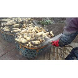 鄂莲七号供应、武汉藕种供应、鄂莲七号图片