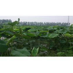 鄂莲五号,大宁县鄂莲五号,莲藕种植技术图片