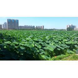 莲藕苗价|武汉水生植物研究所|莲藕苗图片