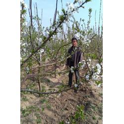 樱桃苗哪里有卖、大连樱桃苗、泰安泽阳园艺场图片