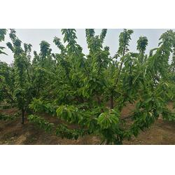吉塞拉樱桃苗价钱、包头吉塞拉樱桃苗、泰安泽阳园艺场(查看)图片