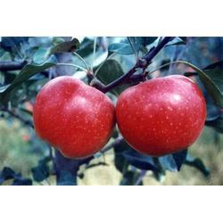 苹果苗基地-泰安泽阳园艺场-聊城苹果苗图片