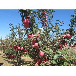 6公分M9T337自根砧苹果苗|莆田苹果苗|泰安泽阳园艺场图片