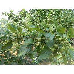 5公分自根砧苹果树-泰安泽阳园艺场-山西苹果树批发