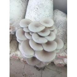 西藏食用菌栽培技术、岁岁丰、南京食用菌栽培技术图片