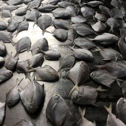 水产(图)、精品鲳鱼销售、鲳鱼图片