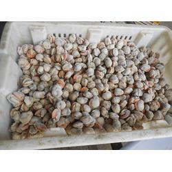 山东扇贝出口厂家,万斛食品(在线咨询),扇贝图片