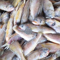 冷冻黄花鱼-万斛食品-黄花鱼图片