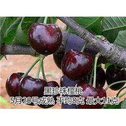 樱桃苗、泰山苗木(优质商家)、哪有卖樱桃苗木图片