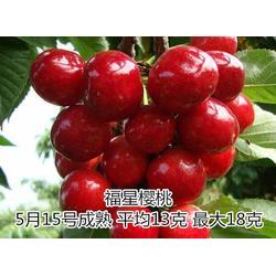 樱桃苗|泰山苗木(在线咨询)|培育樱桃苗图片