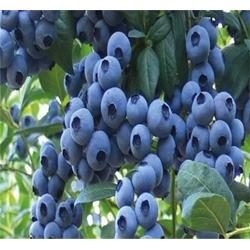 蓝莓苗样板图,临沂蓝莓苗,泰山苗木优质厂家图片