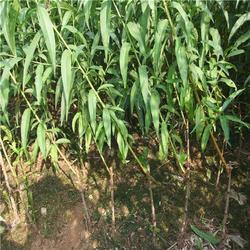 泰山苗木优质厂家(多图)、桃树苗什么品种好、桃树苗图片