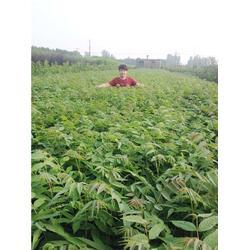 香椿苗-泰山苗木言而有信-香椿苗品种图片