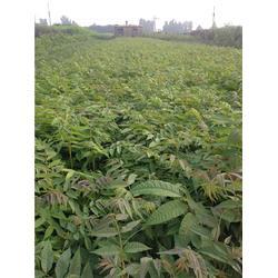 泰山苗木服务贴心,香椿苗厂家,淄博香椿苗图片