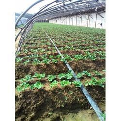 新乡法兰地草莓苗_晨旭苗木园艺场(在线咨询)法兰地草莓苗需求图片