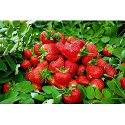 章姬草莓苗|呼和浩特章姬草莓苗|润丰苗木图片