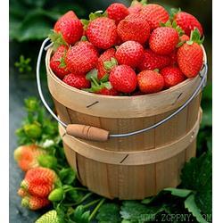 草莓苗组培、安徽草莓苗、润丰苗木(查看)图片