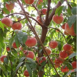 潍坊桃树苗、润丰苗木、5公分桃树苗图片