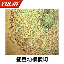显微观察切片-雨林教育-藻类植物褐藻门显微观察切片图片