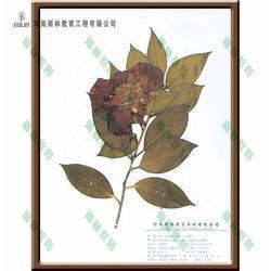 蠟葉標本-雨林教育-金粟蘭科草珊瑚蠟葉標本圖片