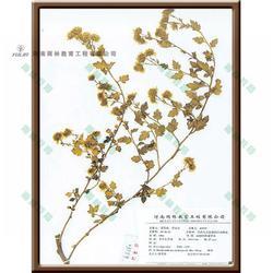 蜡叶标本-卷柏科垫状卷柏蜡叶标本-雨林教育(优质商家)图片