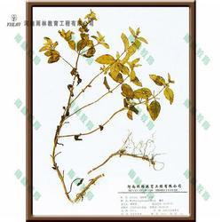 雨林教育 银果胡颓子干制蜡叶标本-蜡叶标本图片