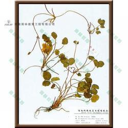 松科华山松蜡叶标本-雨林教育-蜡叶标本图片