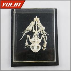 鸽骨骼标本、雨林教育(在线咨询)、标本图片