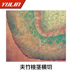 草药植物叶类显微观察切片-雨林教育(在线咨询)显微观察切片图片
