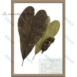 木通科大血藤蠟葉標本-蠟葉標本-雨林教育圖片