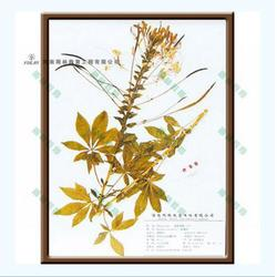鳞毛蕨科贯众腊叶标本,雨林教育,标本图片