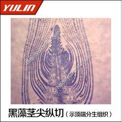 接骨木茎横切显微观察切片-显微观察切片-雨林教育(查看)图片