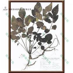 伞形科茴香蜡叶标本-蜡叶标本-雨林教育图片