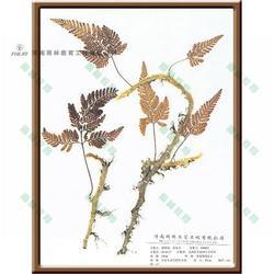 雨林教育 蚌壳蕨科蜡叶标本-蜡叶标本图片
