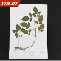 马兜铃科植物蜡叶标本,标本,雨林教育(查看)图片