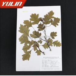 三尖杉科南方紅豆杉蠟葉標本-雨林教育-蠟葉標本圖片