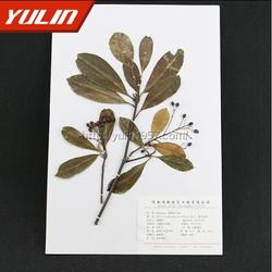 旌节花科小通草蜡叶标本-蜡叶标本-雨林教育(查看)