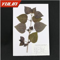 胡椒科植物蜡叶标本,雨林教育,标本图片