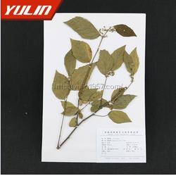 干制蜡叶标本-蜡叶标本-雨林教育(查看)图片
