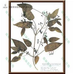 豆科含羞草蜡叶标本 蜡叶标本 雨林教育
