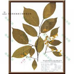 报春花科过路黄蜡叶标本 蜡叶标本 雨林教育